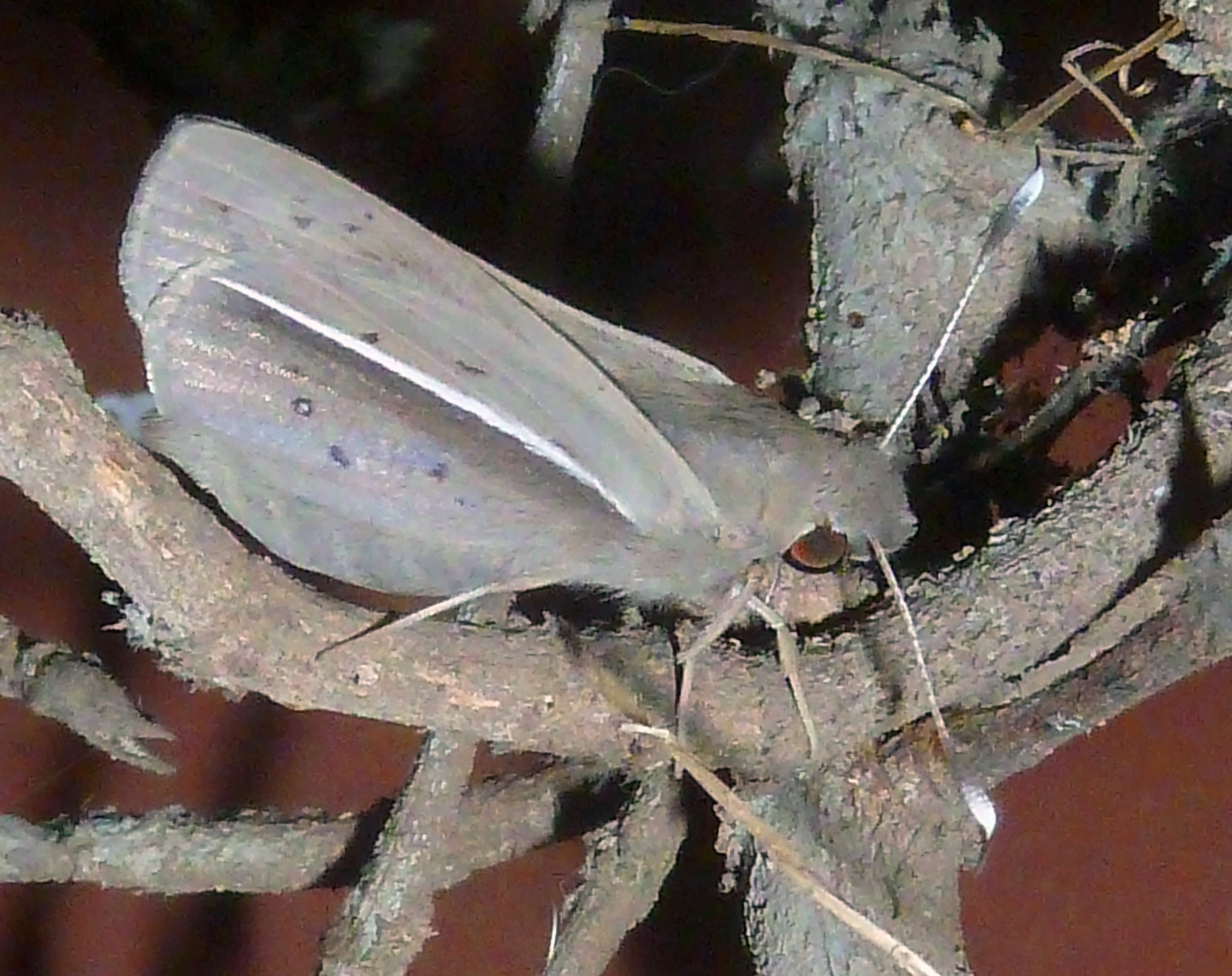 Image of <i>Zophopetes dysmephila</i> Trimen 1868