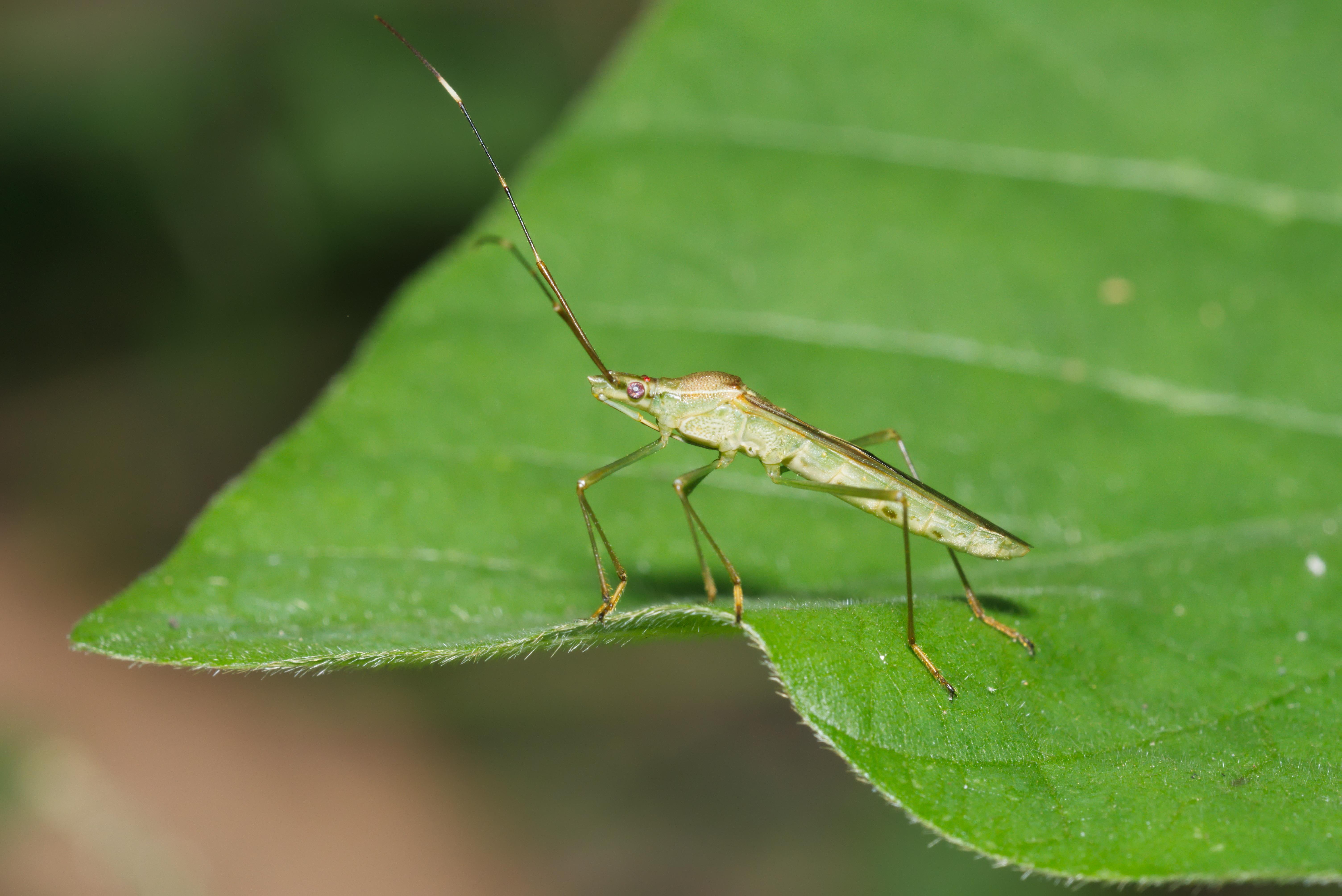 Image of Leptocorisa oratorius