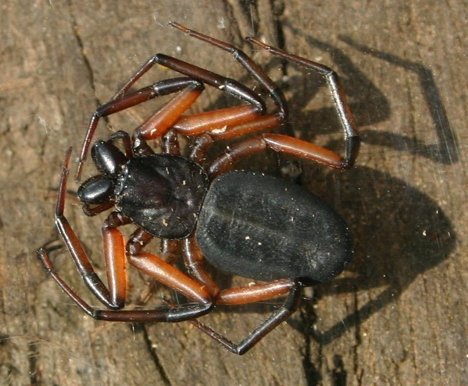 Image of Platyoides