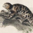 Image of Pygmy Three-toed Sloth