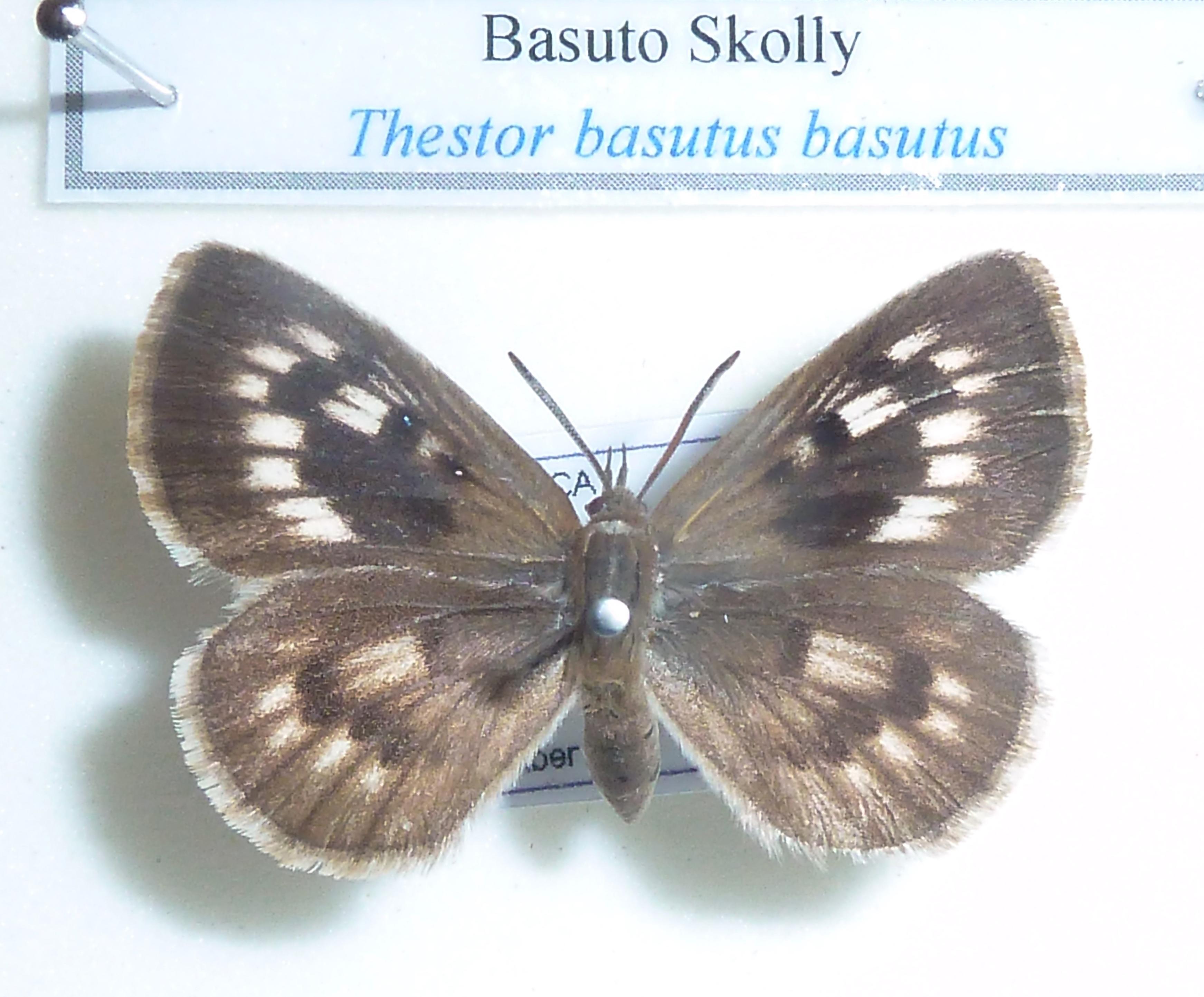 Image of <i>Thestor basuta</i> (Wallengren 1857)