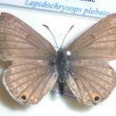 Image of <i>Lepidochrysops plebeia</i> (Butler 1898)