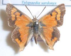 Image of <i>Tylopaedia sardonyx</i> (Trimen 1868)