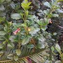Image of Columelliaceae
