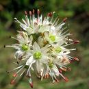 Image of <i>Allium ericetorum</i> Thore