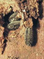 Image of <i>Sipyloidea sipylus</i> (Westwood 1859)