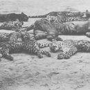 Image of Javan Tiger