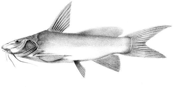 Image of <i>Ancharius fuscus</i> Steindachner 1880