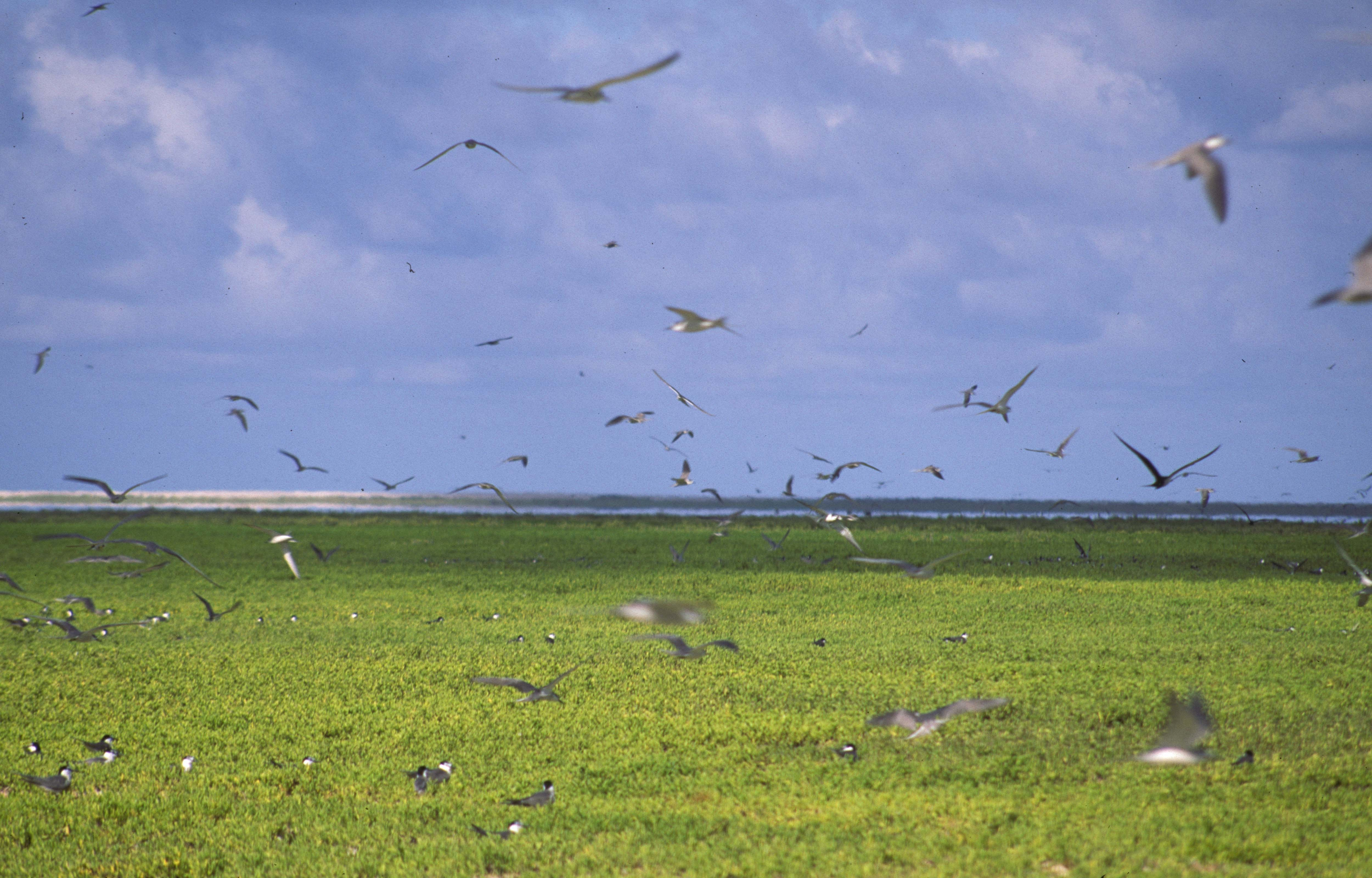 Image of Gray-backed Tern