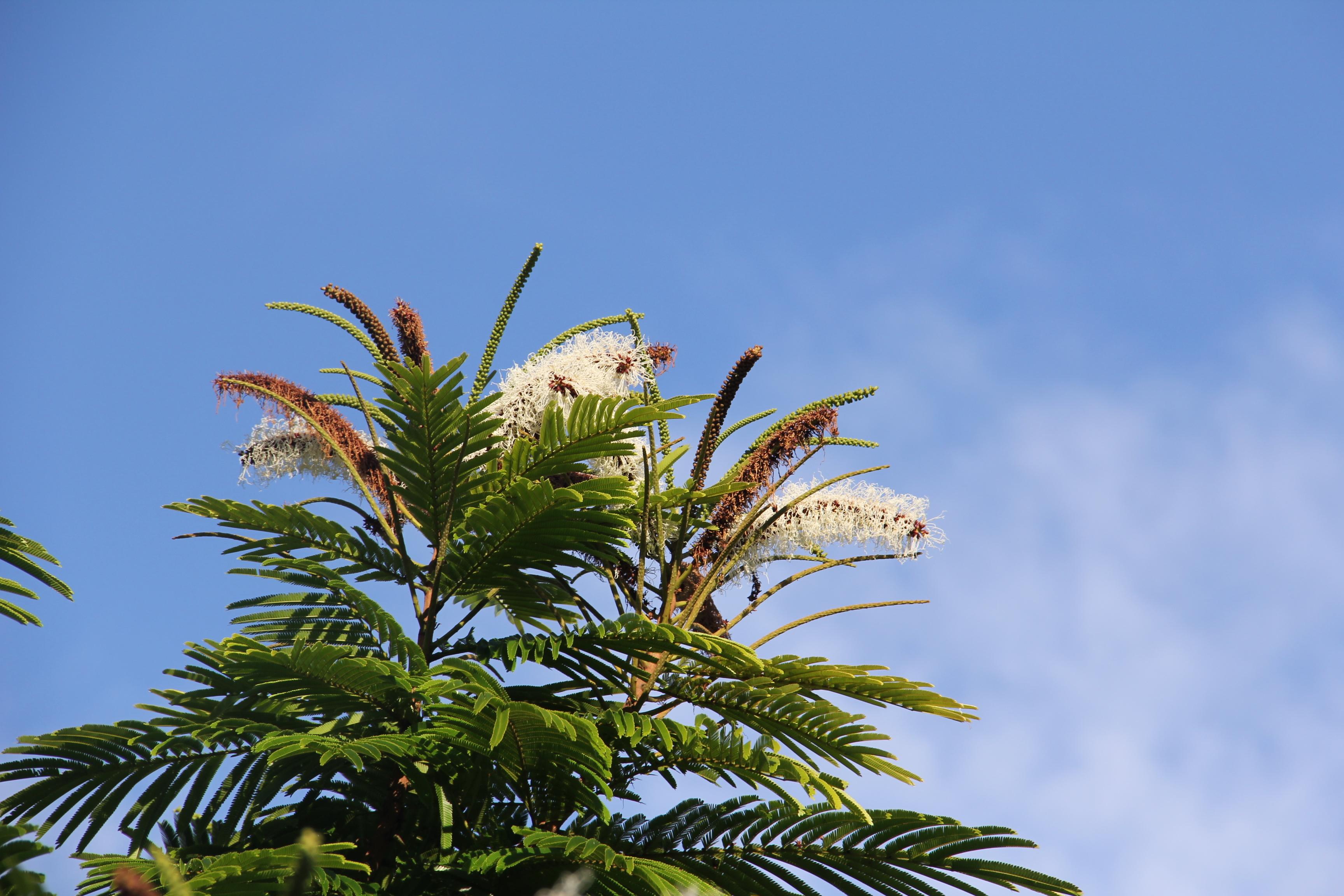 Image of Gavilán Tree