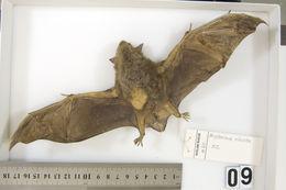 Image of New Zealand Greater Short-tailed Bat