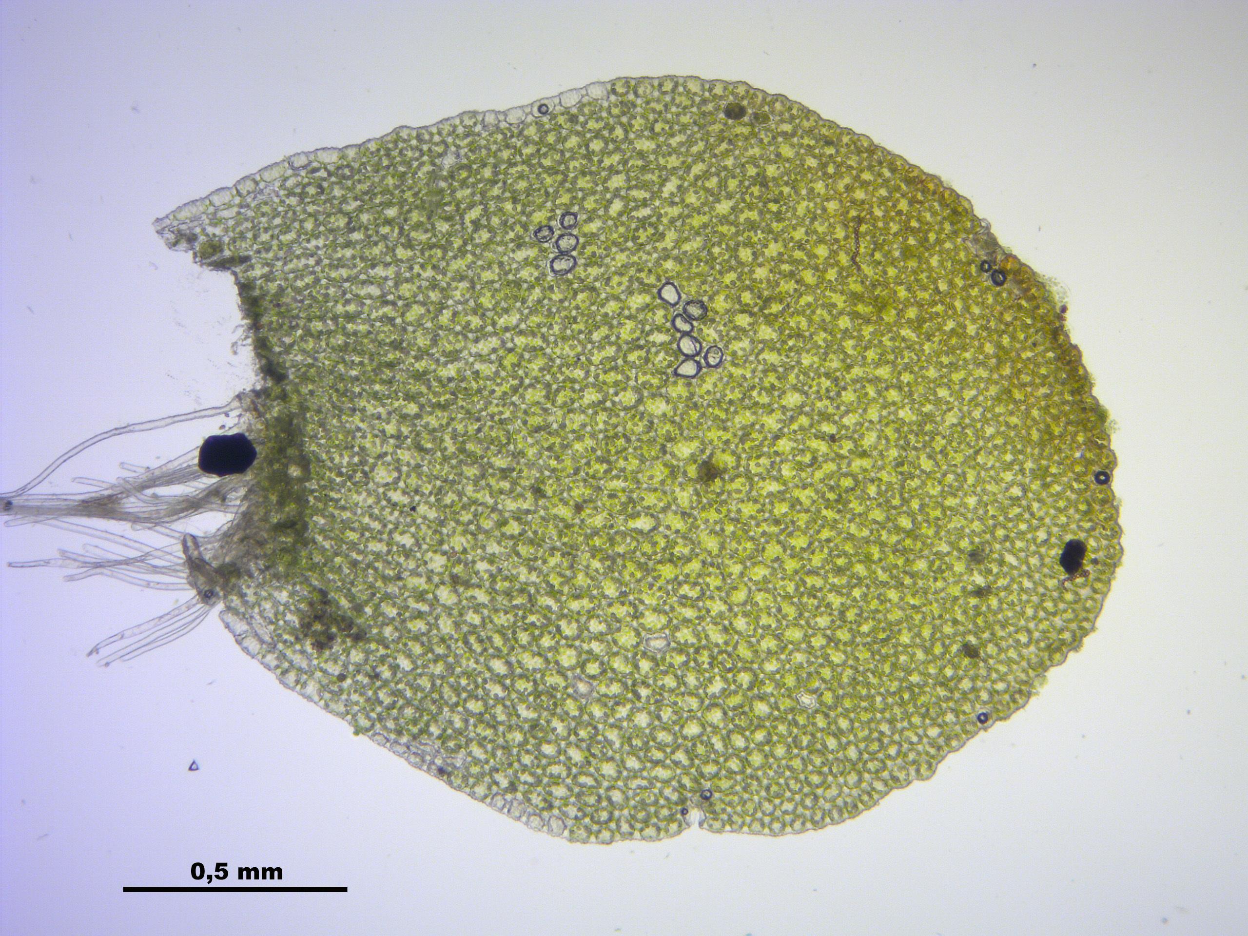 Image of <i>Mylia taylorii</i> (Hook.) Gray