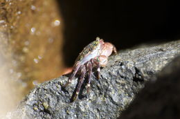 Image of <i>Pachygrapsus crassipes</i> Randall 1840
