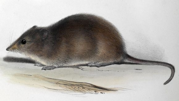 Image of Long-nosed Hocicudo