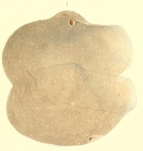 Image of <i>Offadesma angasi</i> (Crosse & P. Fischer 1864)