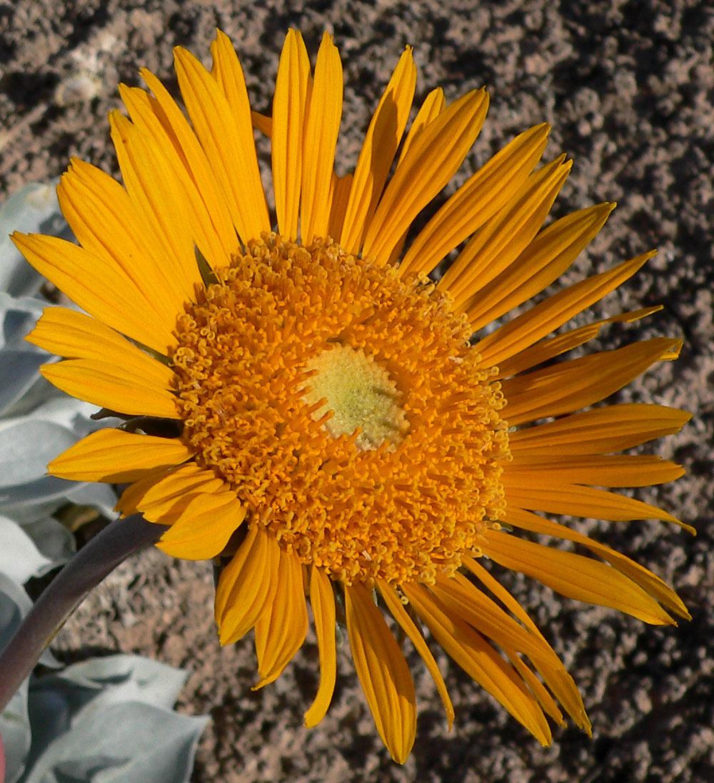 Image of silverleaf sunray