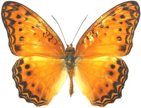 Image of <i>Atella eurytis</i>