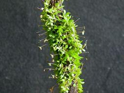 Image of <i>Barbosella miersii</i> (Lindl.) Schltr.