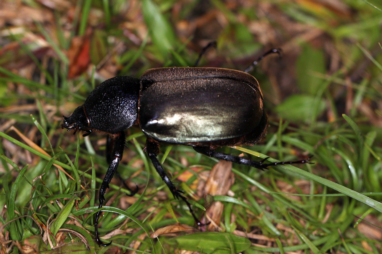 Image of Three-horned Rhinoceros Beetle
