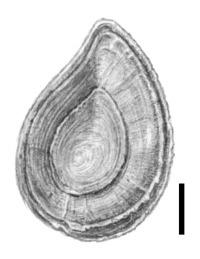 Image of <i>Bithynia bavelensis</i> Meijer 1990