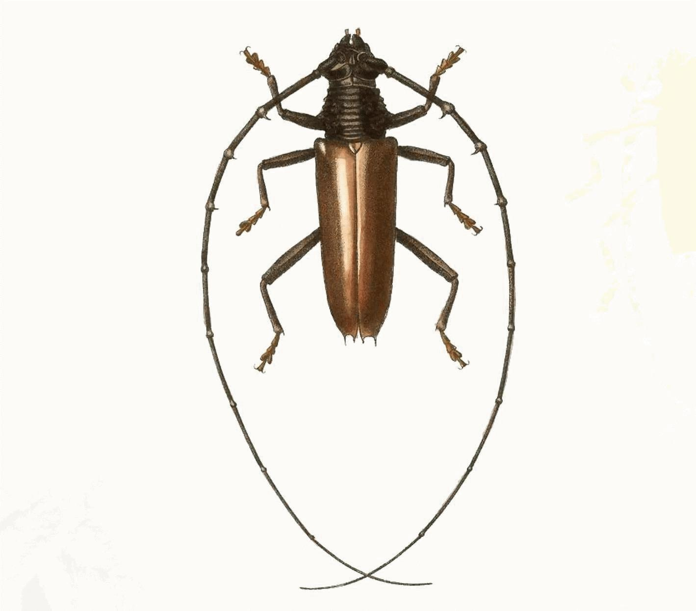 Image of <i>Juiaparus mexicanus</i> (Thomson 1861)