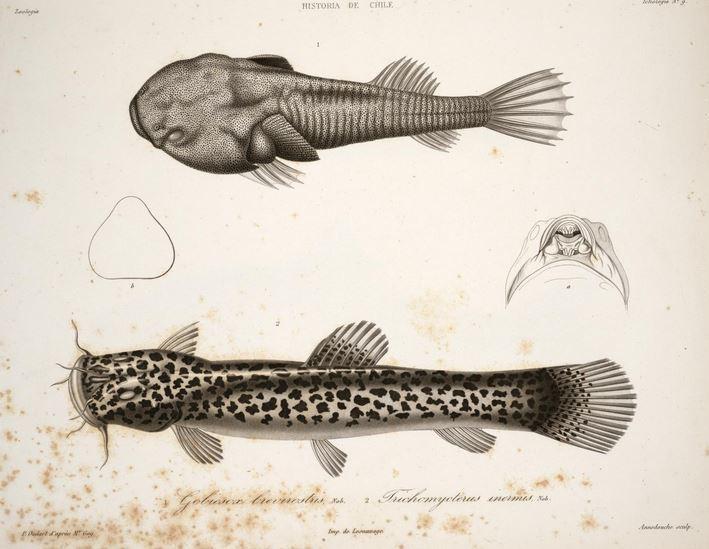 Image of Big catfish