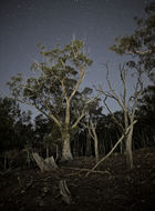 Image of Blakely's Red Gum