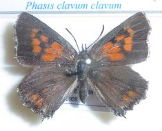 Image of <i>Phasis clavum</i> Murray 1935