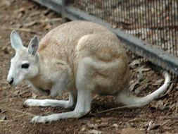 Image of Northern Nail-tail Wallaby