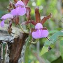Image of <i>Cattleya tenuis</i> Campacci & Vedovello