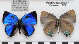 Image of <i>Panthiades bitias</i> (Cramer (1779))