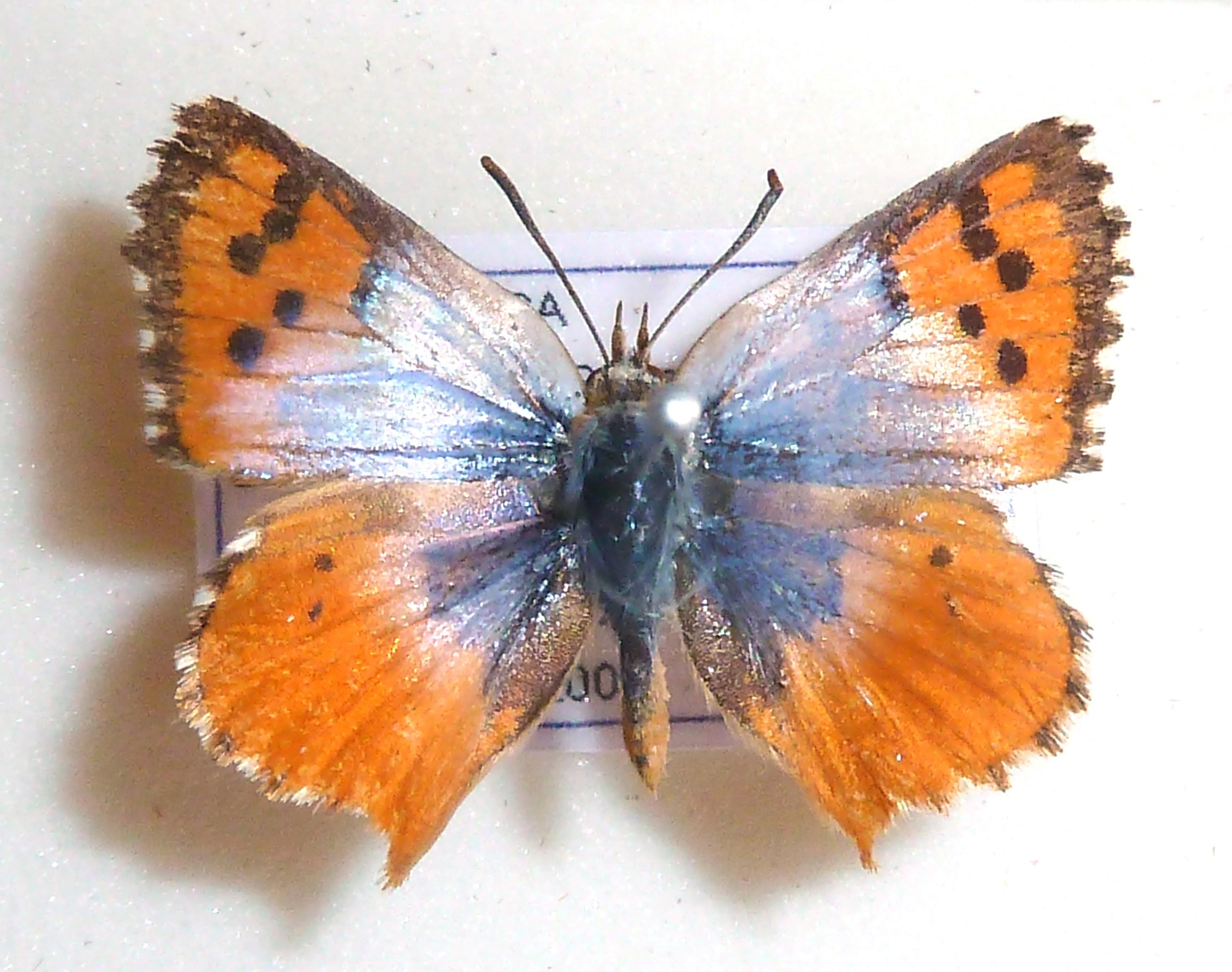 Image of <i>Chrysoritis beaufortius</i>