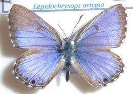 Image of <i>Lycaena ortygia</i> Trimen 1887
