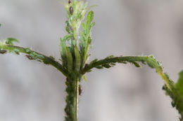 Image of pea aphid