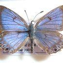 Image of <i>Lepidochrysops balli</i> Dickson 1985