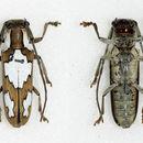 Image of <i>Adesmus divus</i> (Chabrillac 1857)
