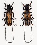 Image of <i>Aulaconotus atronotatus</i> Pic 1927