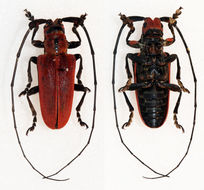 Image of <i>Eupromus laosensis</i> Breuning 1968