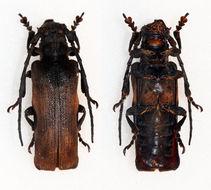 Image of <i>Thylactus angularis</i> Pascoe 1866