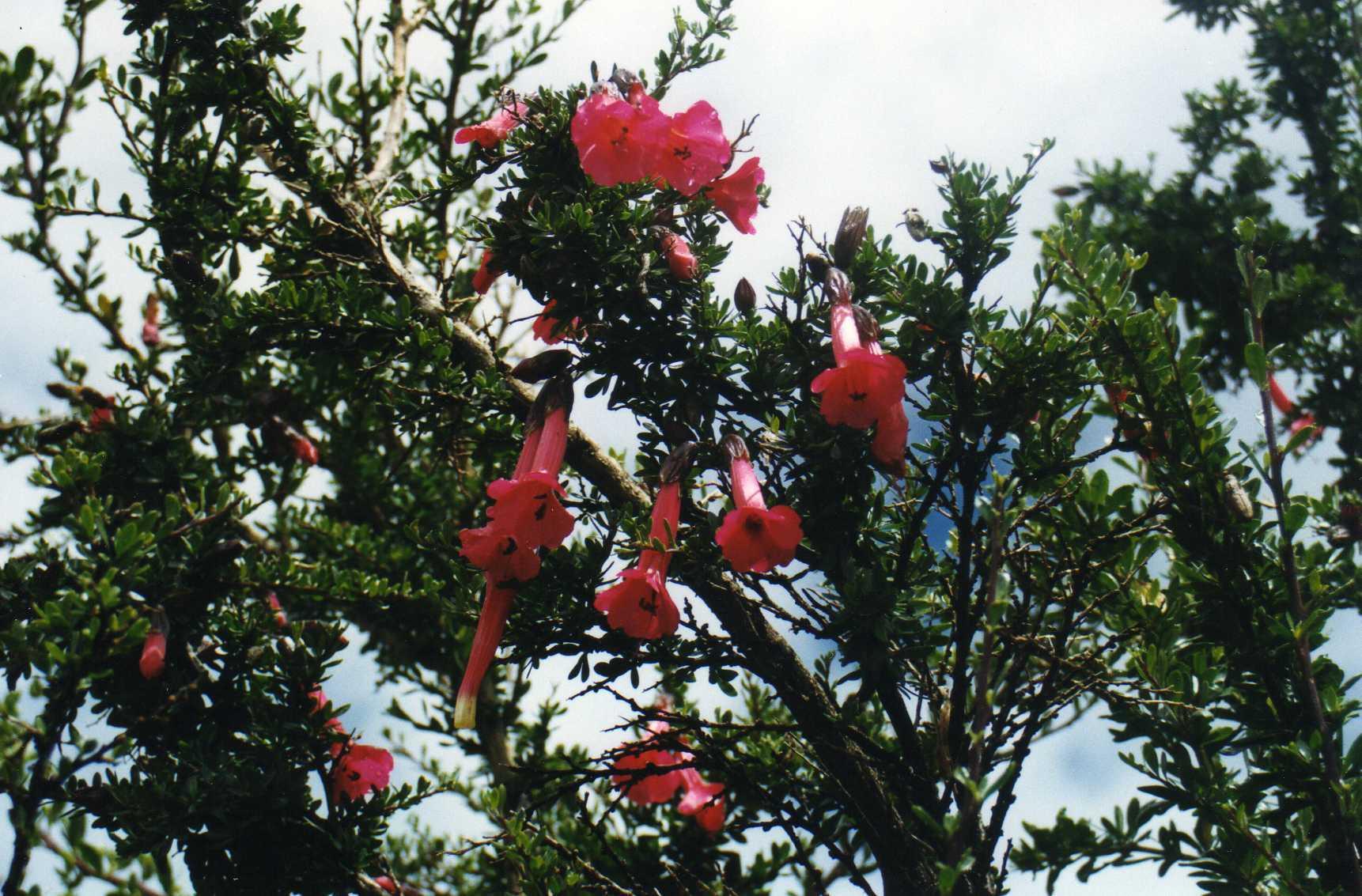 Image of cantua