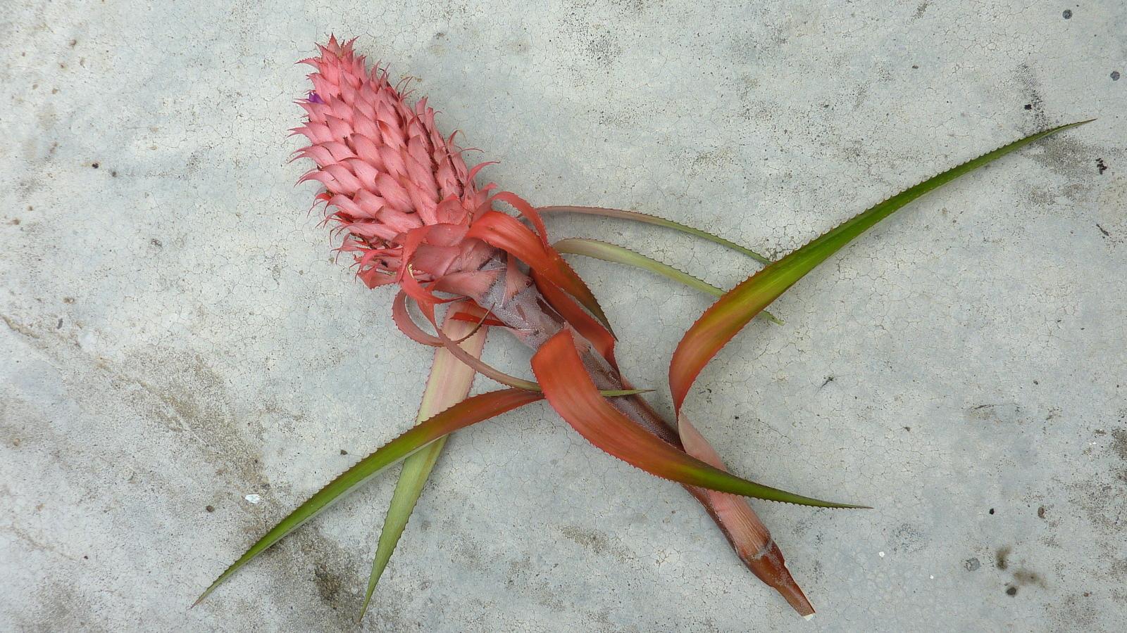Image of Ananas macrodontes