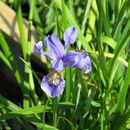 Image of <i>Iris bulleyana</i> Dykes