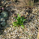 Image of <i>Fritillaria sinica</i> S. C. Chen