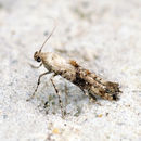 Image of Epermenioidea
