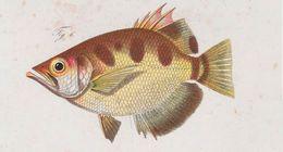 Image of Smallscale Archerfish