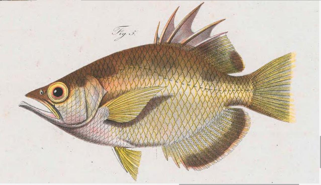 Image of Sevenspot archerfish