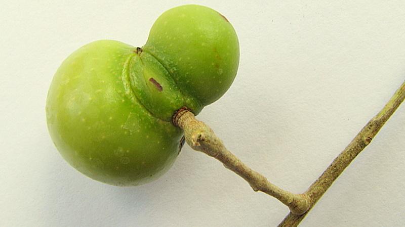 Image of wingleaf soapberry