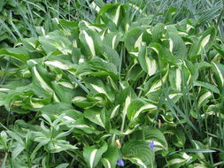 Image of plantain lily