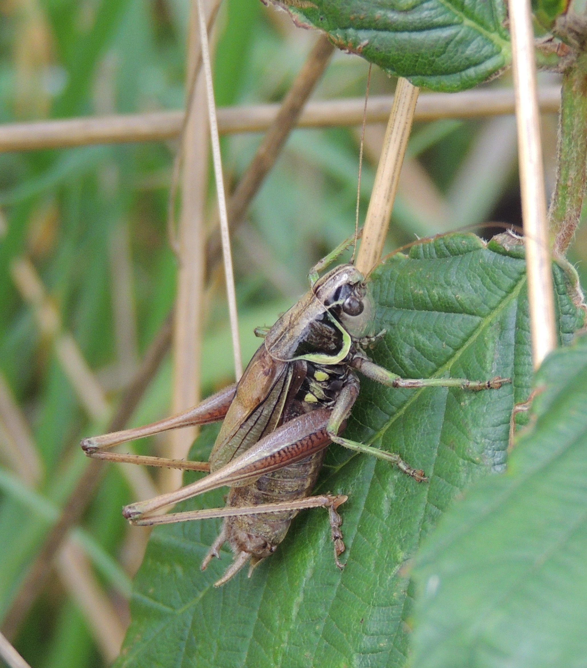 Image of <i>Metrioptera roeselii</i>