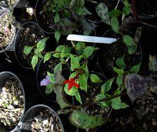 Image of mountain saucerflower